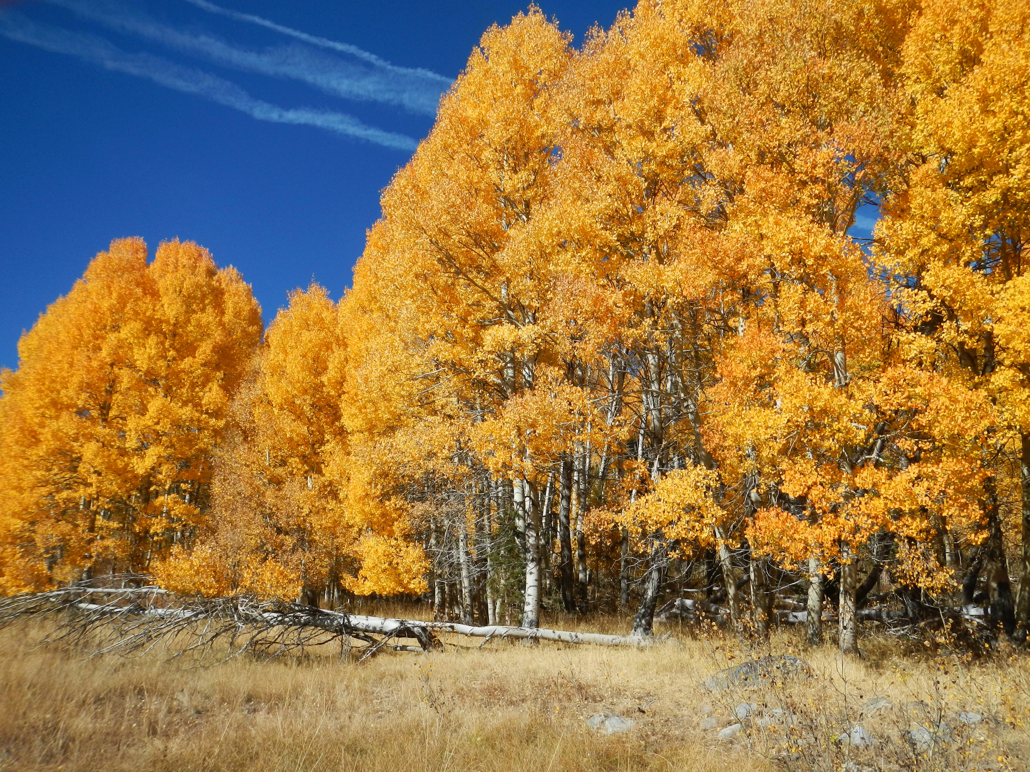 Aspen Trees in Autumn with blue sky and fence