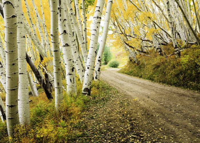 Fun Facts About Aspen Trees | Aspen Blog | McCartney Properties