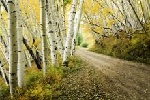 Fun Facts About Aspen Trees | Aspen Blog | McCartney Properties